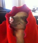 pig_in_a_blanket
